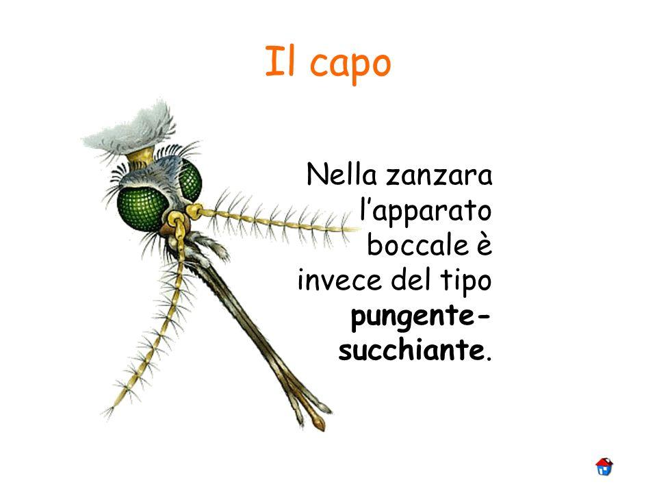 Il capo Nella zanzara l'apparato boccale è invece del tipo pungente-succhiante.