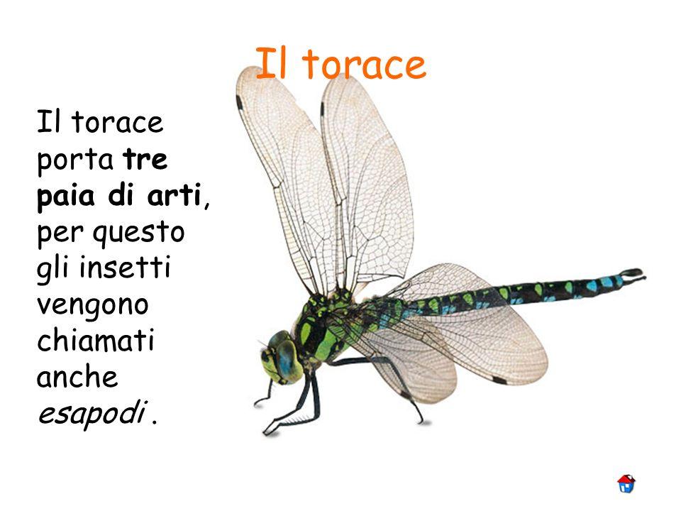 Il torace Il torace porta tre paia di arti, per questo gli insetti vengono chiamati anche esapodi .