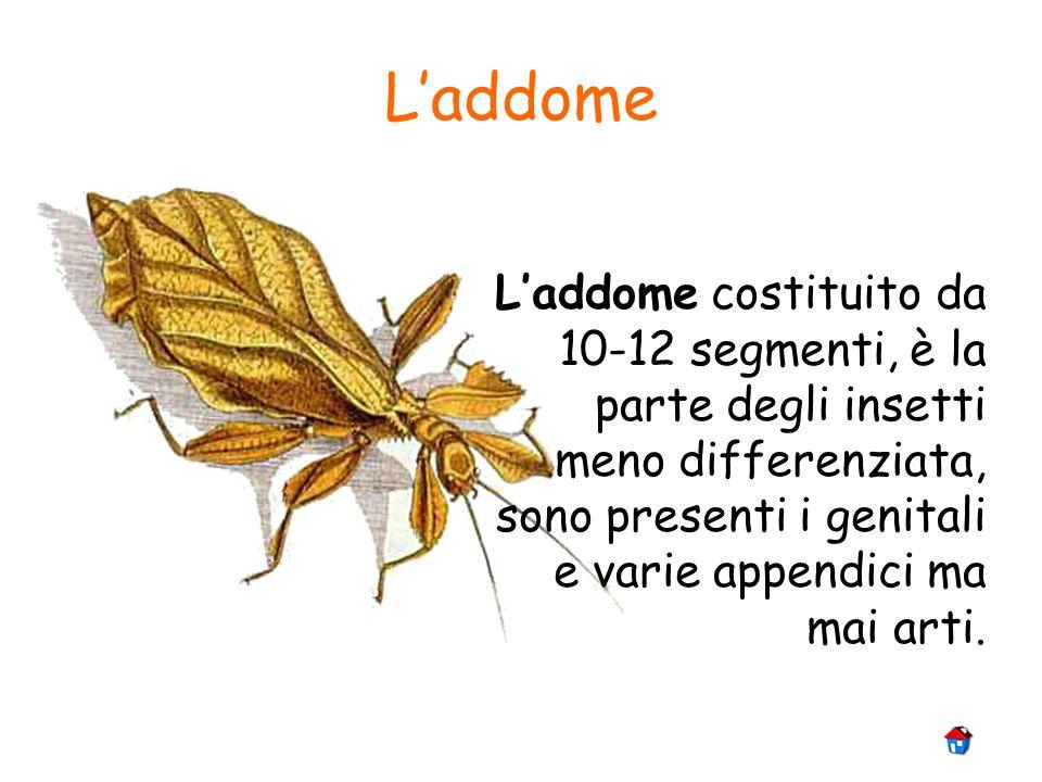 L'addome L'addome costituito da 10-12 segmenti, è la parte degli insetti meno differenziata, sono presenti i genitali e varie appendici ma mai arti.