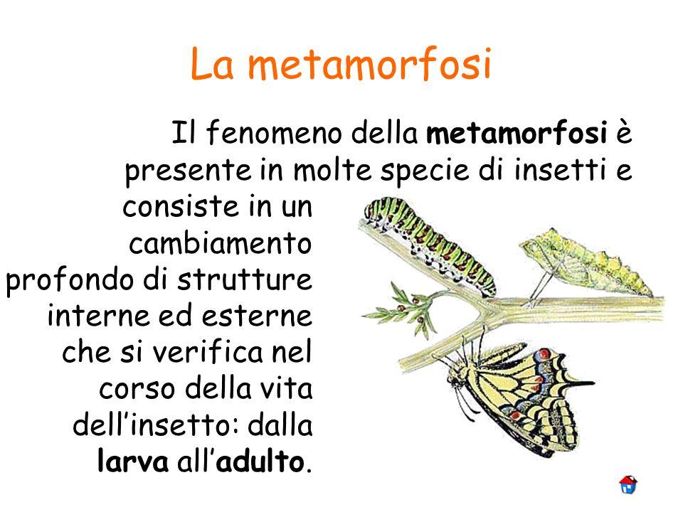 La metamorfosi Il fenomeno della metamorfosi è presente in molte specie di insetti e.
