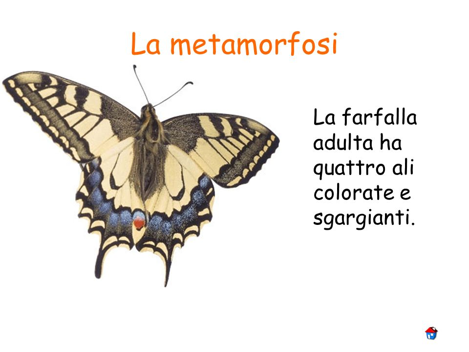 La metamorfosi La farfalla adulta ha quattro ali colorate e sgargianti.
