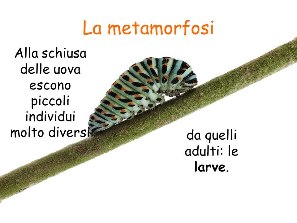 La metamorfosi Alla schiusa delle uova escono piccoli individui molto diversi.