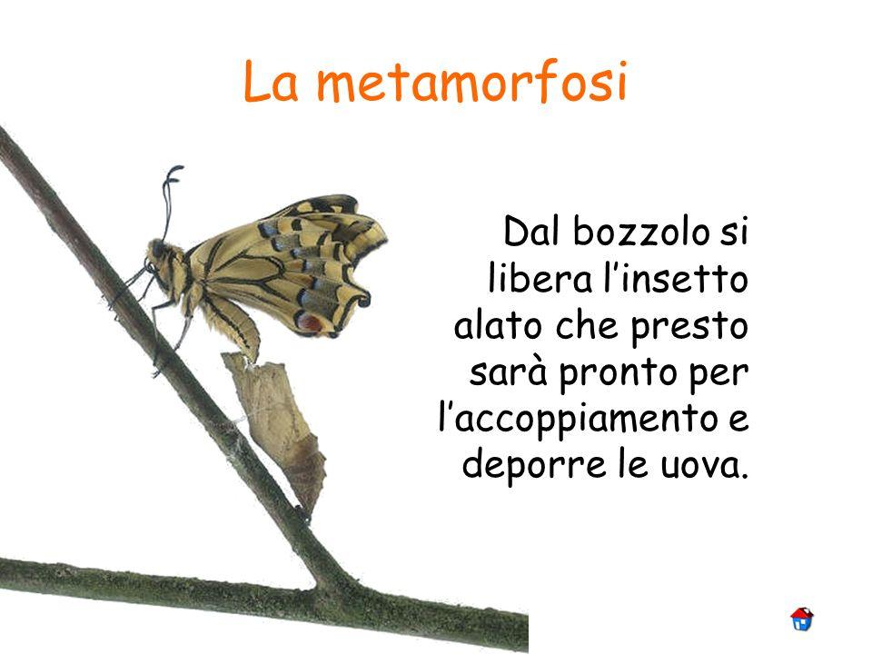 La metamorfosi Dal bozzolo si libera l'insetto alato che presto sarà pronto per l'accoppiamento e deporre le uova.