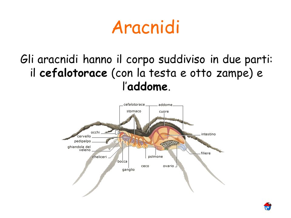 Aracnidi Gli aracnidi hanno il corpo suddiviso in due parti: il cefalotorace (con la testa e otto zampe) e l'addome.