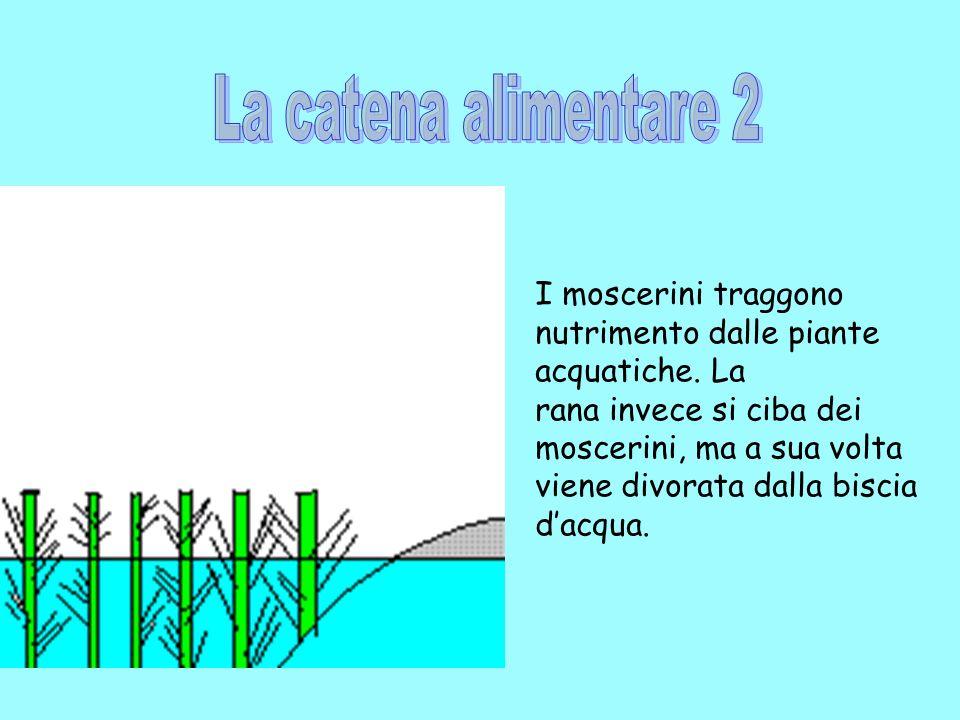 La catena alimentare 2 I moscerini traggono nutrimento dalle piante acquatiche. La. rana invece si ciba dei.