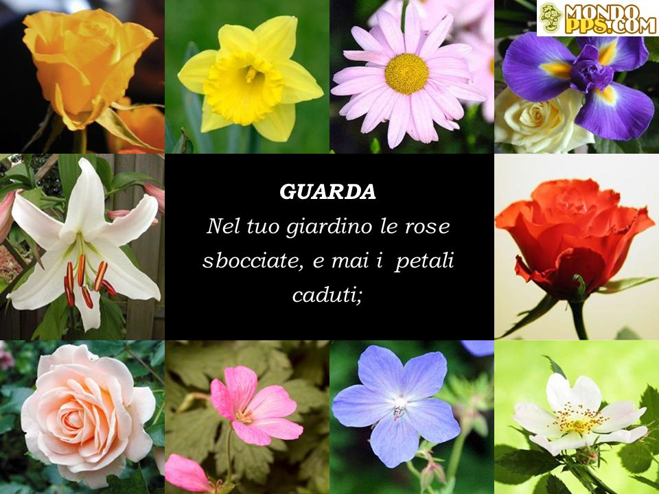 Nel tuo giardino le rose sbocciate, e mai i petali caduti;