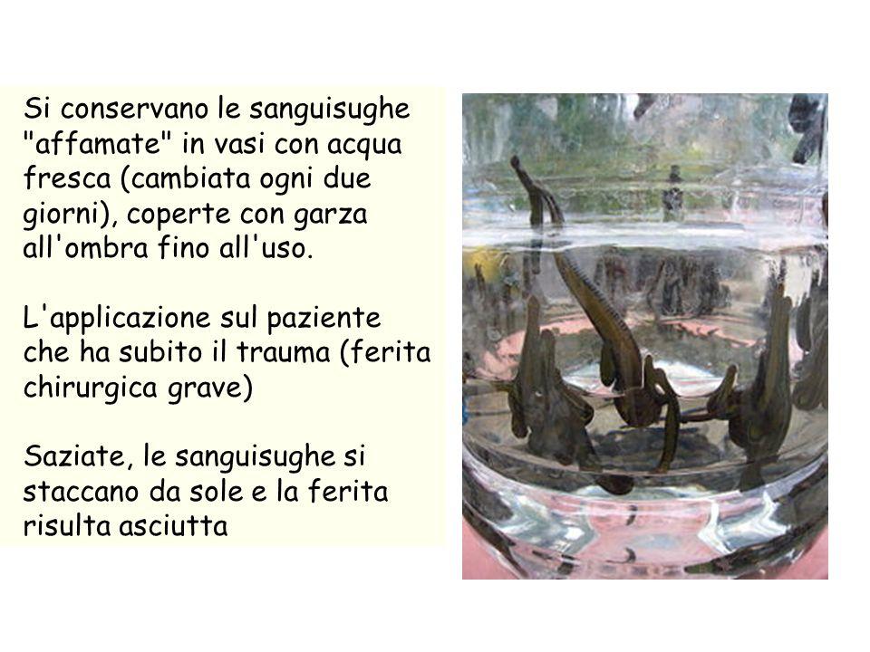 Si conservano le sanguisughe affamate in vasi con acqua fresca (cambiata ogni due giorni), coperte con garza all ombra fino all uso.