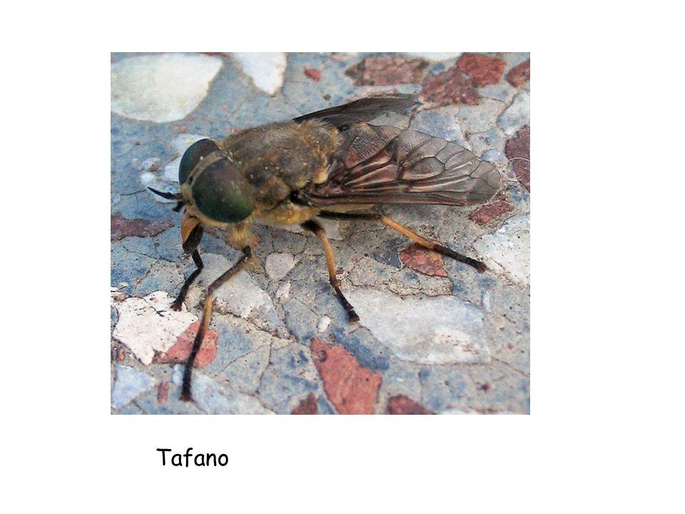Tafano
