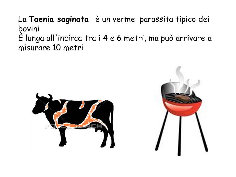 La Taenia saginata è un verme parassita tipico dei bovini