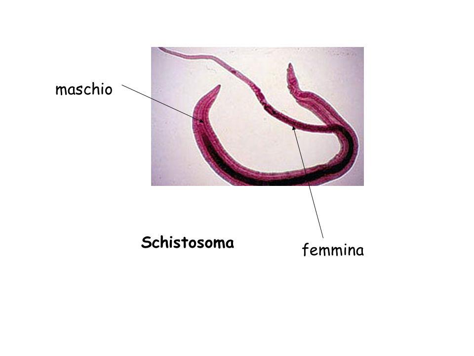maschio Schistosoma femmina