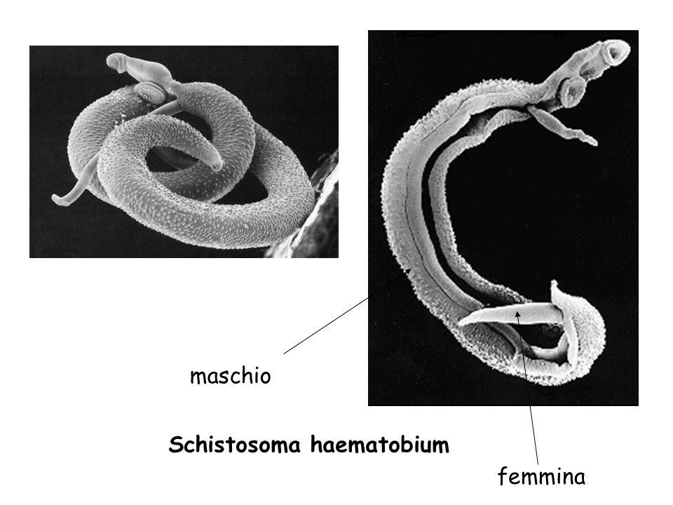 maschio Schistosoma haematobium femmina