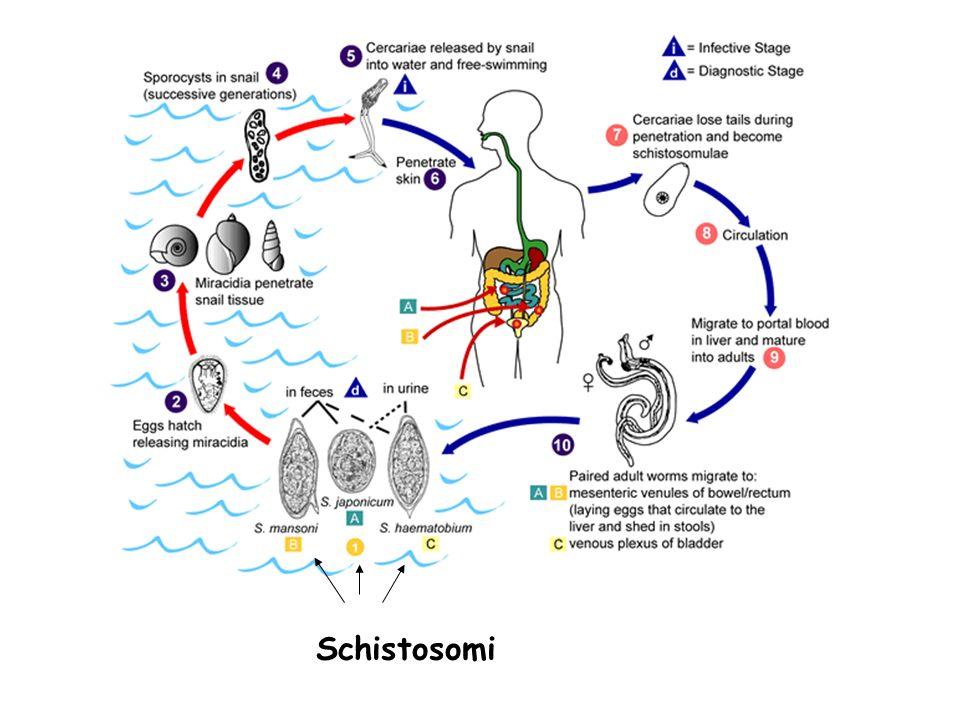 Schistosomi