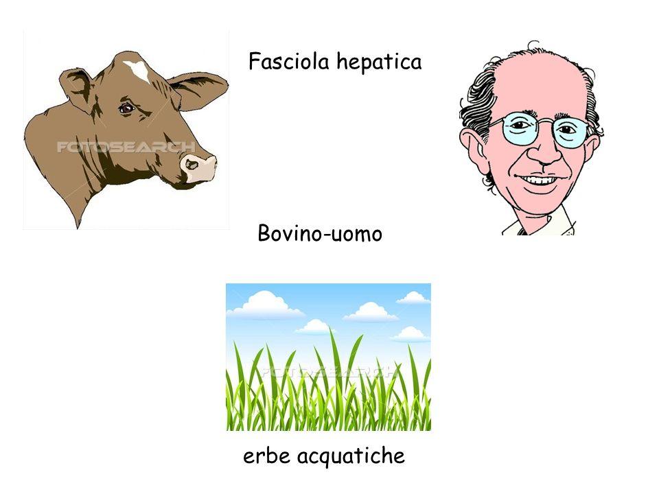 Fasciola hepatica Bovino-uomo erbe acquatiche