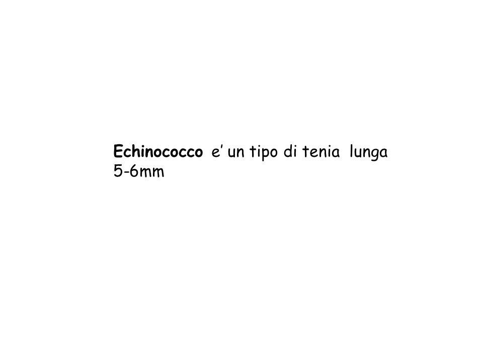 Echinococco e' un tipo di tenia lunga 5-6mm