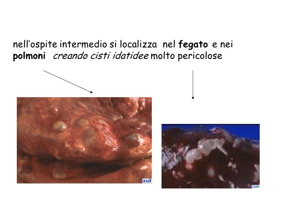 nell'ospite intermedio si localizza nel fegato e nei polmoni creando cisti idatidee molto pericolose