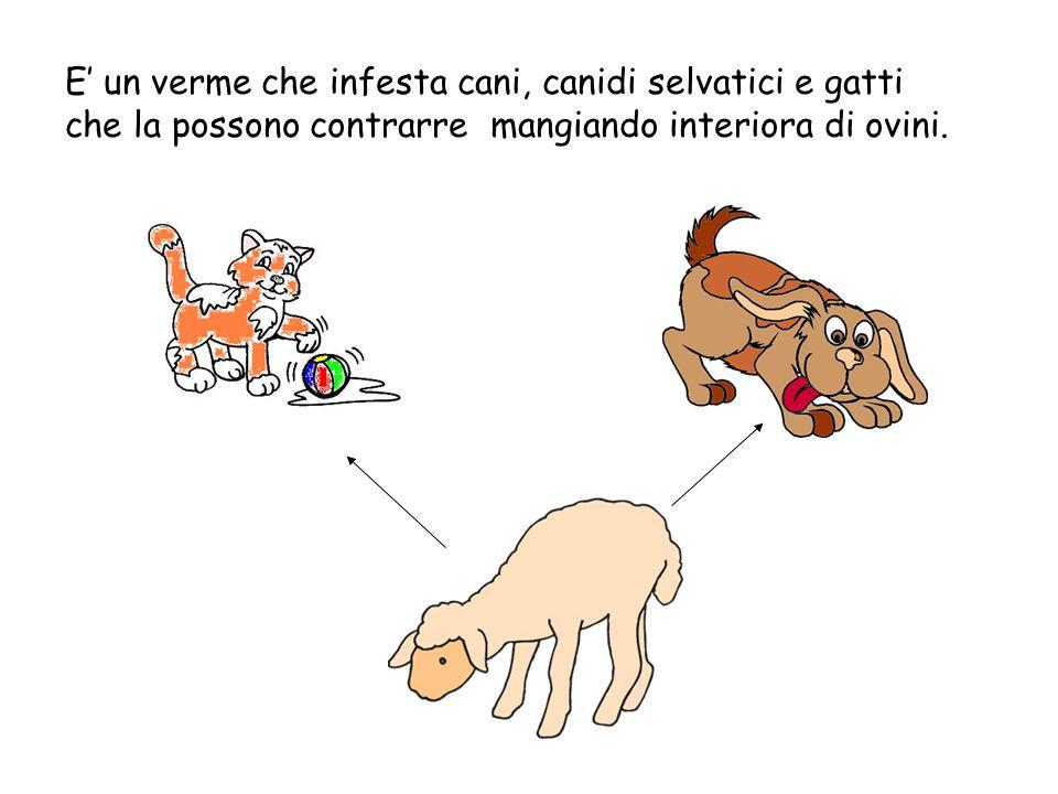 E' un verme che infesta cani, canidi selvatici e gatti che la possono contrarre mangiando interiora di ovini.