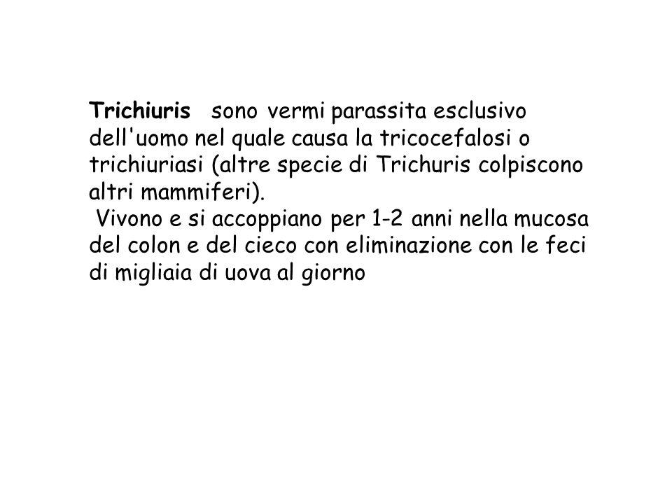 Trichiuris sono vermi parassita esclusivo dell uomo nel quale causa la tricocefalosi o trichiuriasi (altre specie di Trichuris colpiscono altri mammiferi).