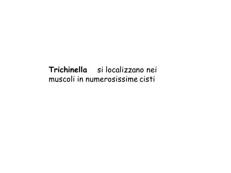Trichinella si localizzano nei muscoli in numerosissime cisti