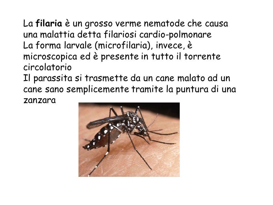 La filaria è un grosso verme nematode che causa una malattia detta filariosi cardio-polmonare