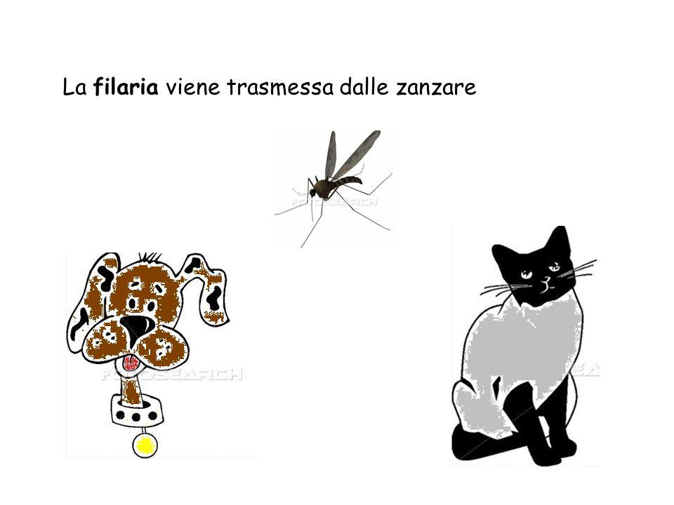 La filaria viene trasmessa dalle zanzare