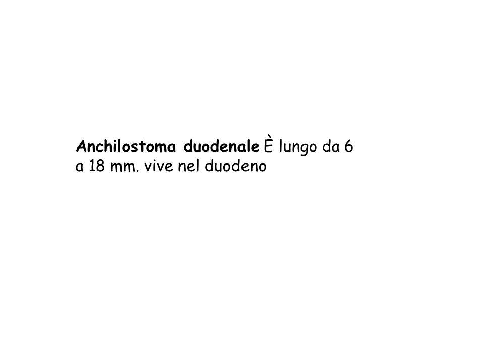 Anchilostoma duodenale È lungo da 6 a 18 mm. vive nel duodeno