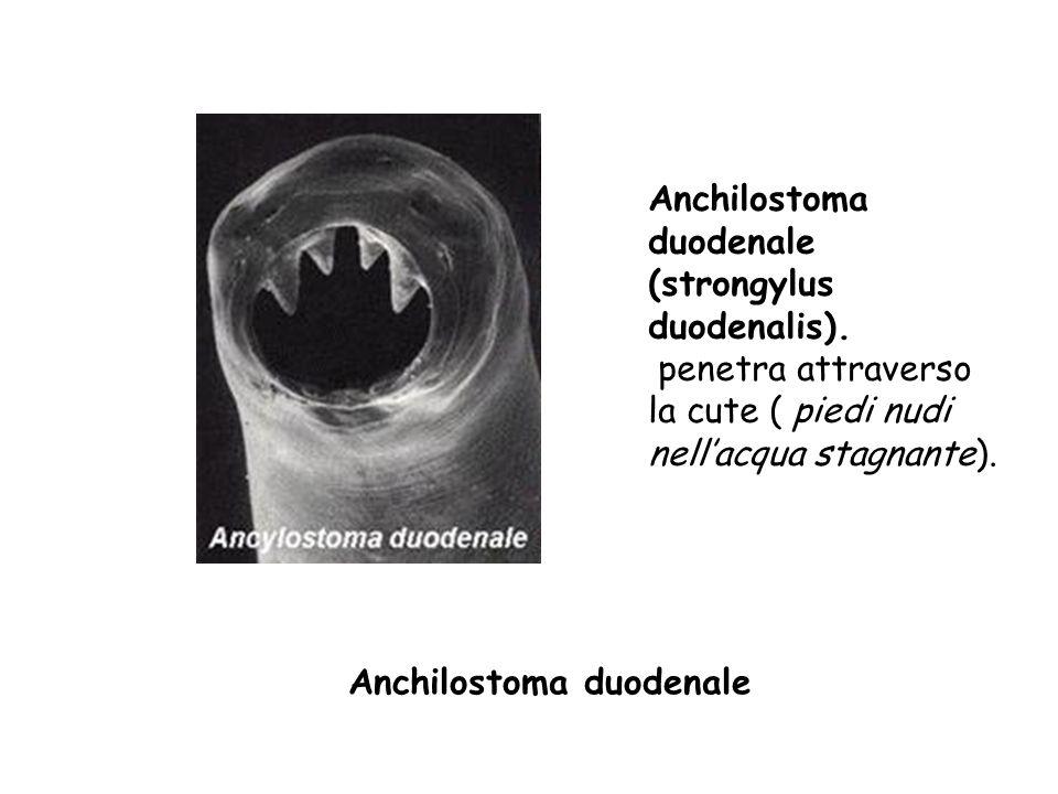 Anchilostoma duodenale (strongylus duodenalis)