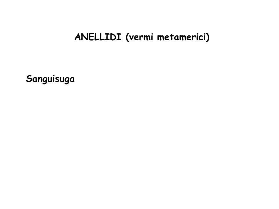 ANELLIDI (vermi metamerici)