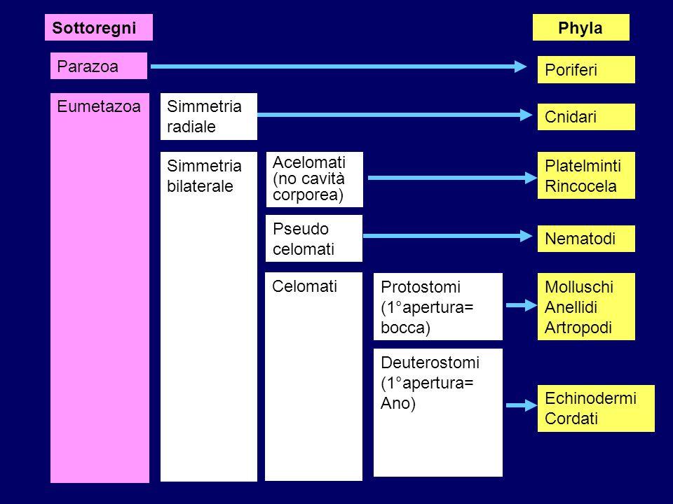 Sottoregni Phyla. Parazoa. Poriferi. Eumetazoa. Simmetria radiale. Cnidari. Simmetria bilaterale.