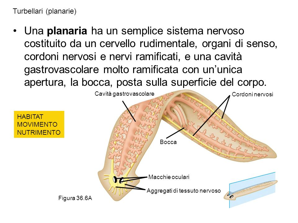 Turbellari (planarie)