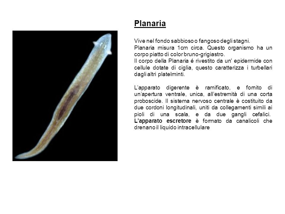 Planaria Vive nel fondo sabbioso o fangoso degli stagni.
