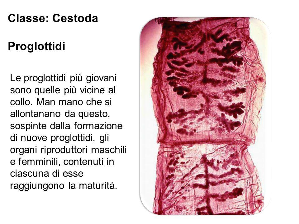 Classe: Cestoda Proglottidi