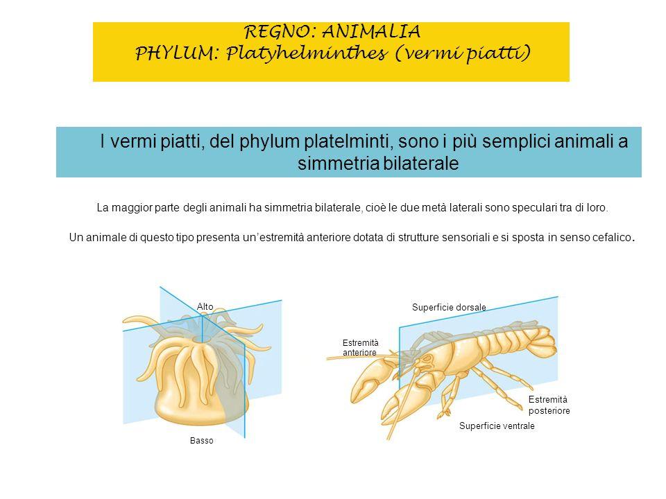 REGNO: ANIMALIA PHYLUM: Platyhelminthes (vermi piatti)
