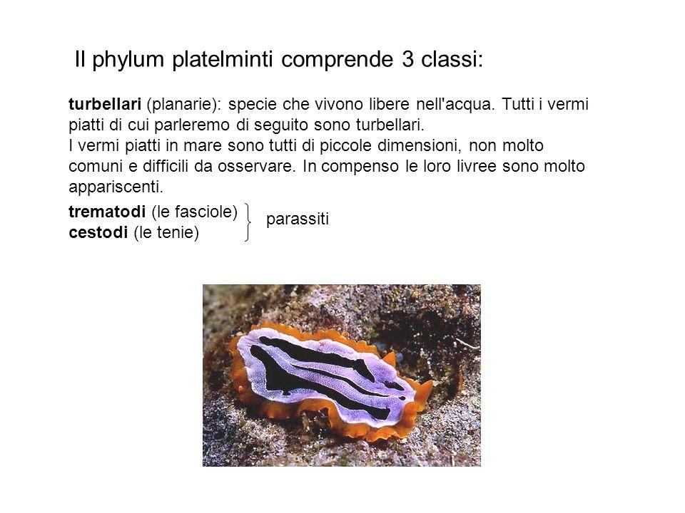 Il phylum platelminti comprende 3 classi: