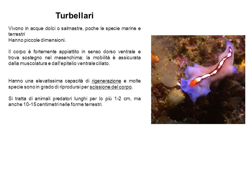 Turbellari Vivono in acque dolci o salmastre, poche le specie marine e terrestri. Hanno piccole dimensioni.