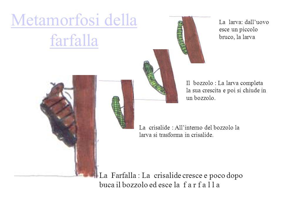Metamorfosi della farfalla