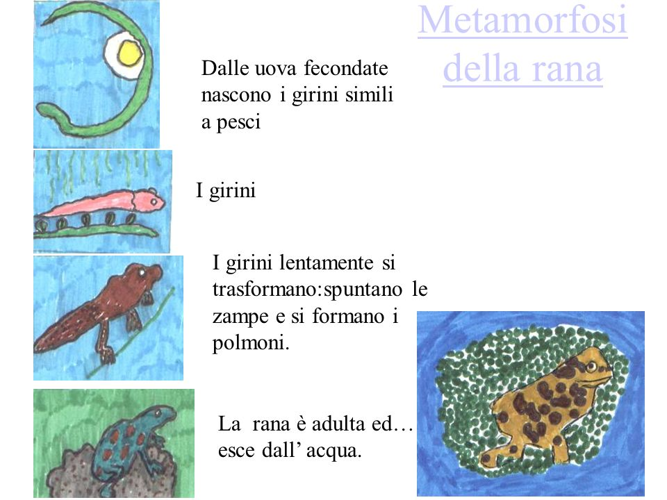 Metamorfosi della rana