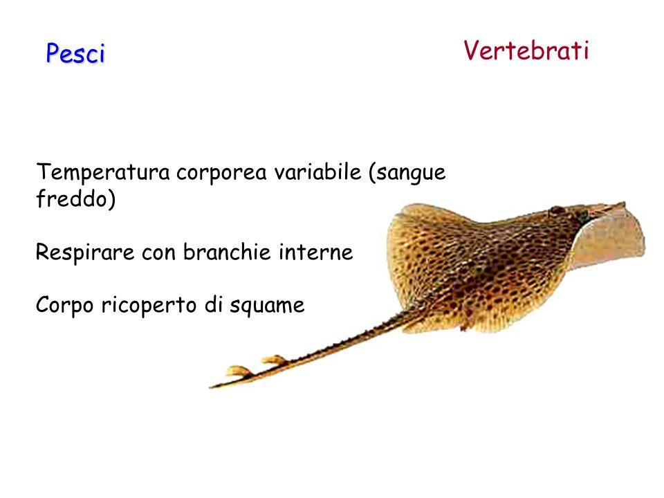Vertebrati Pesci Temperatura corporea variabile (sangue freddo)