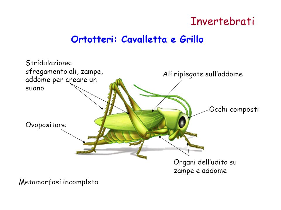 Ortotteri: Cavalletta e Grillo