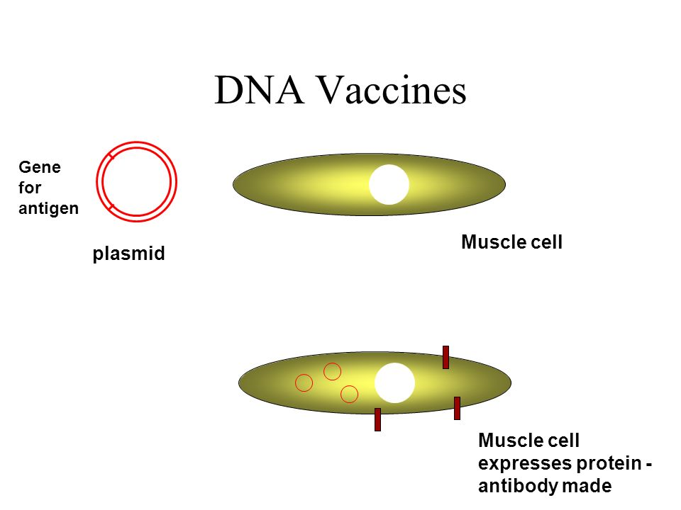 DNA Vaccines Muscle cell plasmid