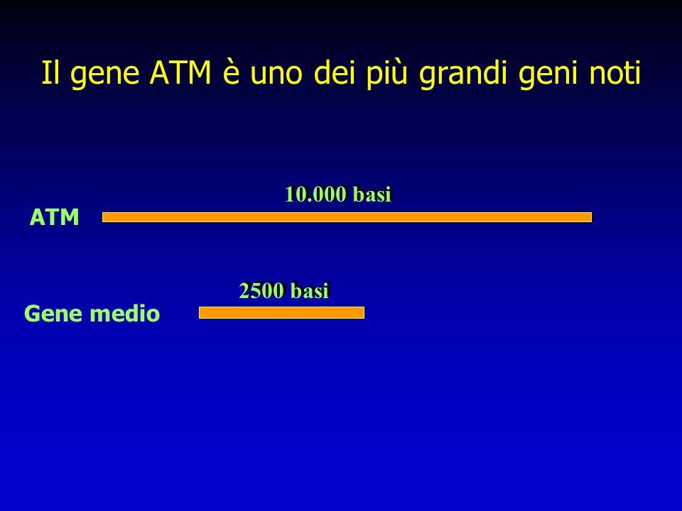 Il gene ATM è uno dei più grandi geni noti
