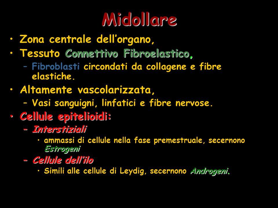 Midollare Zona centrale dell'organo, Tessuto Connettivo Fibroelastico,