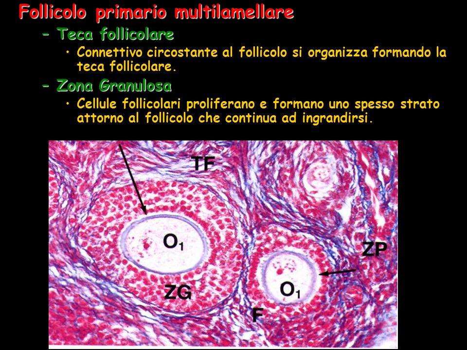 Follicolo primario multilamellare