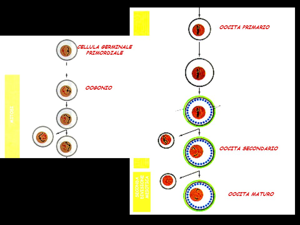 PRIMA DIVISIONE MEIOTICA OOCITA PRIMARIO