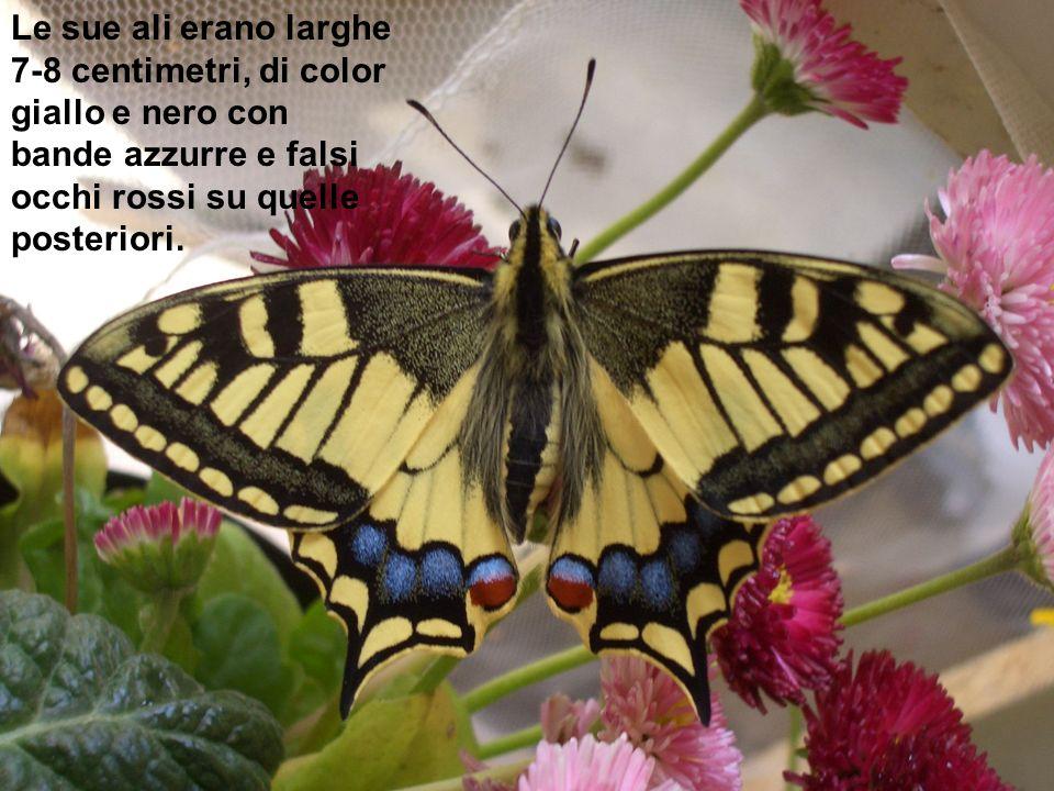 Le sue ali erano larghe 7-8 centimetri, di color giallo e nero con bande azzurre e falsi occhi rossi su quelle posteriori.