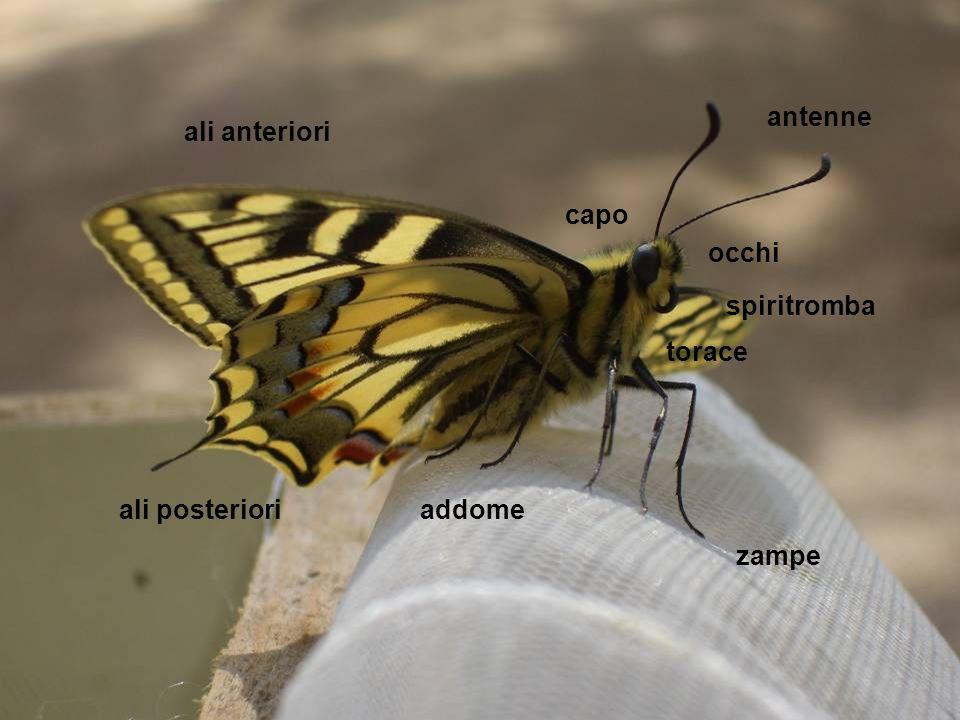 antenne ali anteriori capo occhi spiritromba torace ali posteriori addome zampe