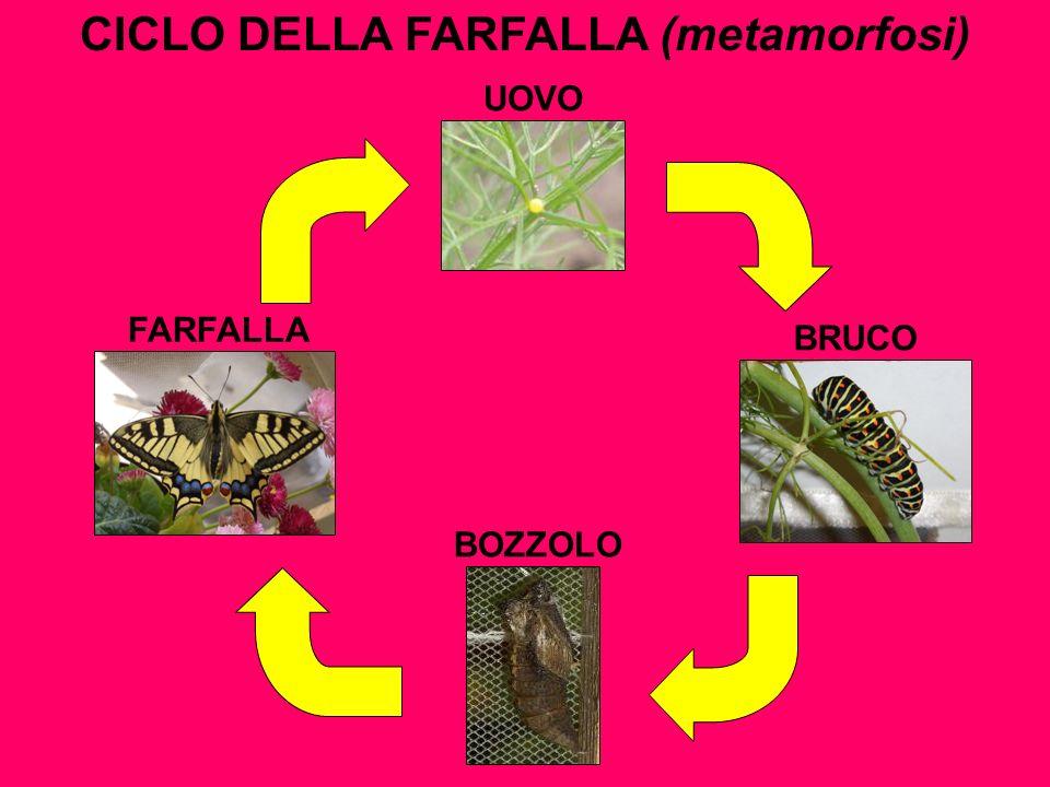 CICLO DELLA FARFALLA (metamorfosi)