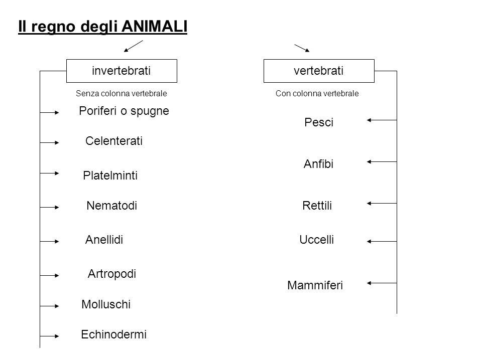 Il regno degli ANIMALI invertebrati vertebrati Poriferi o spugne Pesci