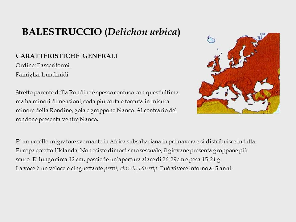 BALESTRUCCIO (Delichon urbica)