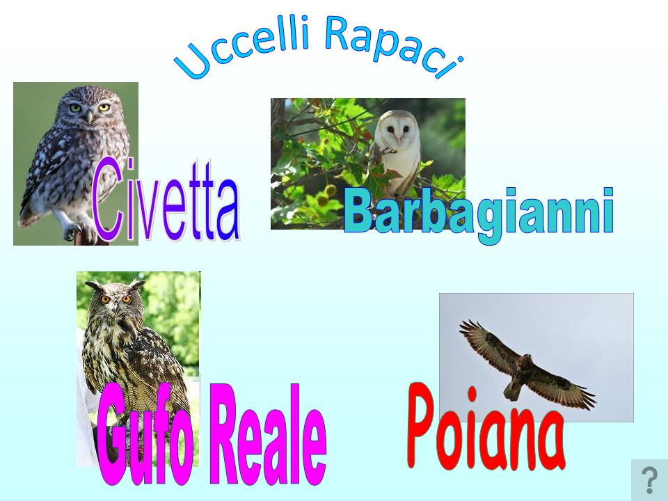 Uccelli Rapaci Civetta Barbagianni Gufo Reale Poiana