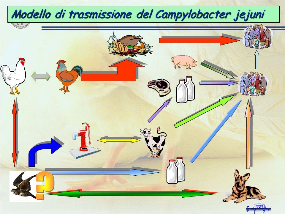 Modello di trasmissione del Campylobacter jejuni